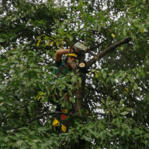Arborista Peter Švidroň pri práci na strome